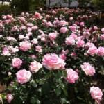 大阪でバラ公園といえば?とっておきの穴場をこっそり大公開!!
