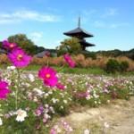 奈良でコスモスの穴場といえば?とっておきの無料スポットはココだ!!